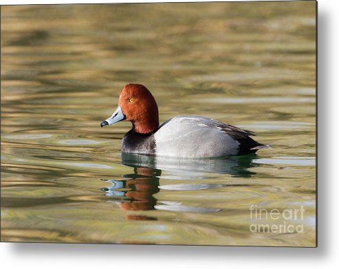Redhead Metal Print featuring the photograph Redhead On Sunny Pond by Ruth Jolly