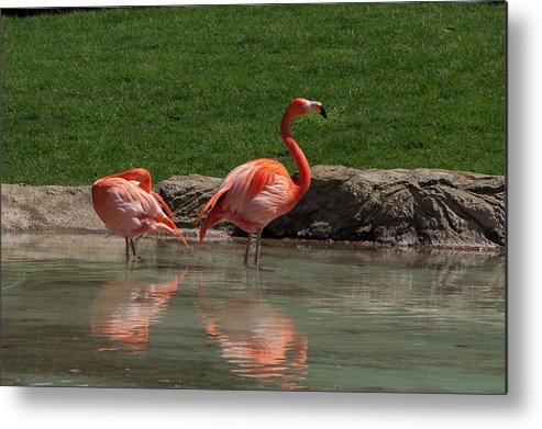 Aves Metal Print featuring the photograph Reflections by Craig Hosterman