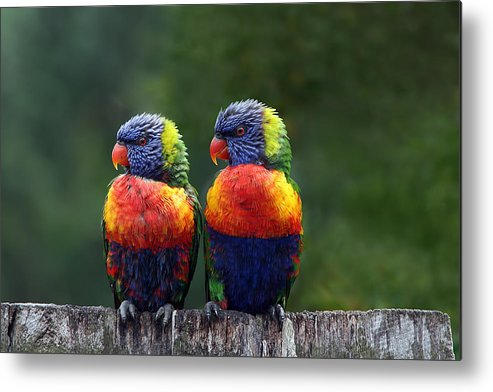 Lorikeets Metal Print featuring the photograph Rendezvous In The Rain by Lesley Smitheringale