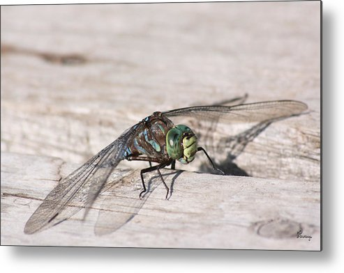 Dragonfly Nature Bug Flying Insect Wings Eyes Colorful Creature Metal Print featuring the photograph Rescued Dragonfly by Andrea Lawrence