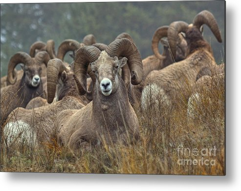 Columbia Valley Metal Print featuring the photograph Resting Rams by James Anderson