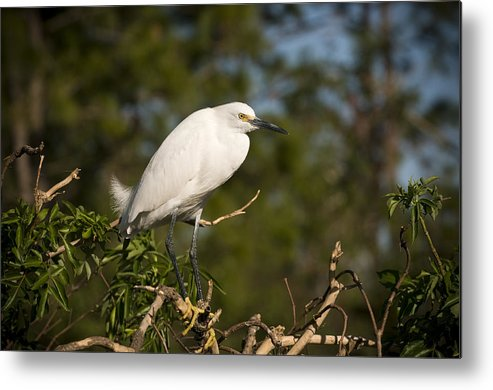 Snowy Egret Metal Print featuring the photograph Resting Snowy Egret by Chad Davis