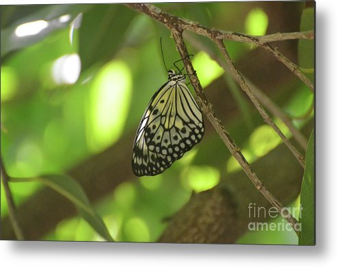Tree-nymph Metal Print featuring the photograph Rice Paper Butterfly Clinging To A Tree Branch by DejaVu Designs