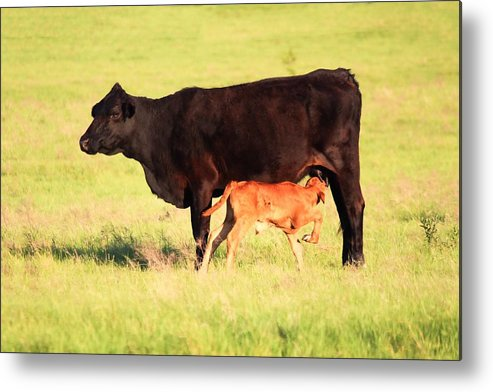 Cow Metal Print featuring the photograph Rich And Creamy Snack by Jeanie Mann