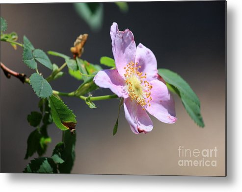Floral Metal Print featuring the photograph Rimrock Rose by Carol Groenen