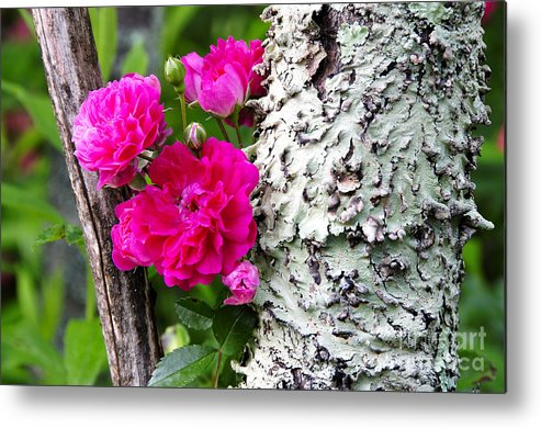 Wild Rose Metal Print featuring the photograph Rogue Rose by Thomas R Fletcher