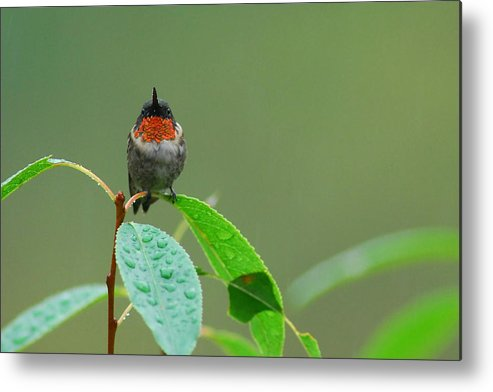 Birds Metal Print featuring the photograph Ruby-throated Hummingbird by Alan Lenk