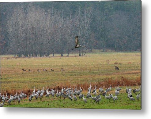 Birds Metal Print featuring the photograph Sand Hill Crane Migration by David Arment