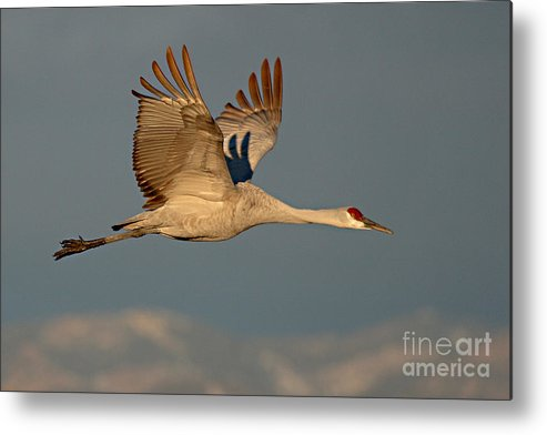Crane Metal Print featuring the photograph Sandhill Crane Flying Above The Mountains Of New Mexico by Max Allen