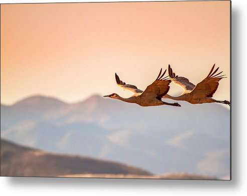 Pink Metal Print featuring the photograph Sandhill Cranes Flying Over New Mexico Mountains - Bosque Del Apache, New Mexico by Ellie Teramoto