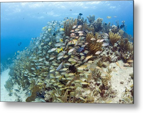 Porkfish Metal Print featuring the photograph Schools Of Grunts, Snappers, Tangs by Karen Doody