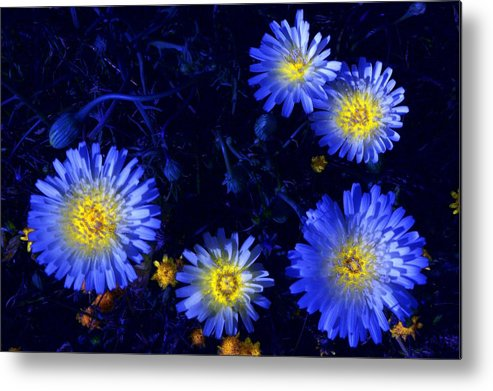 Daisy Metal Print featuring the photograph Scintillating Daisies by James Carr