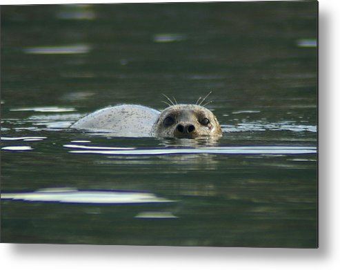Seal Metal Print featuring the photograph Scoping by David Armentrout