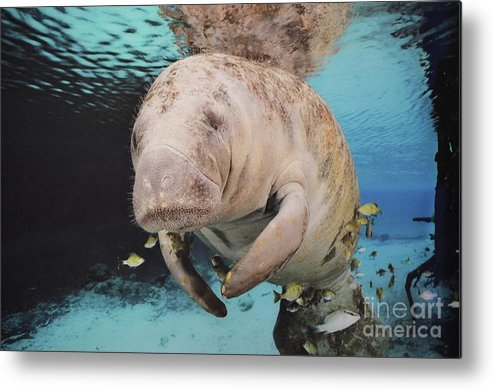 Manatee Metal Print featuring the photograph Sea Cow Swimming Underwater by DejaVu Designs