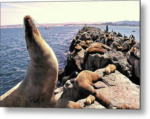 Seals; Sea Lions; Rock Pier; Navy Pier; Monterey Bay; Pacific Ocean; Blue; Joe Lach; Wildlife; Panorama; Panoramic; Monterey Peninsula Metal Print featuring the photograph Sea Lions On Rock Pier by Joe Lach