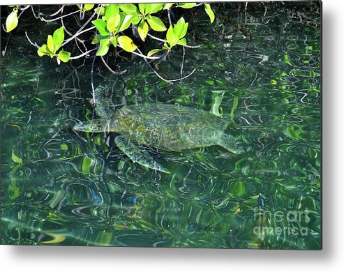 Turtle Metal Print featuring the photograph Sea Turtle In Galapagos Lagoon by Bruce Chevillat