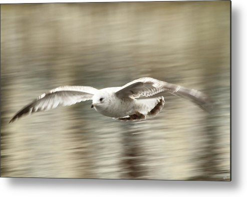 Seagull Metal Print featuring the photograph Seagull Glide by Karol Livote