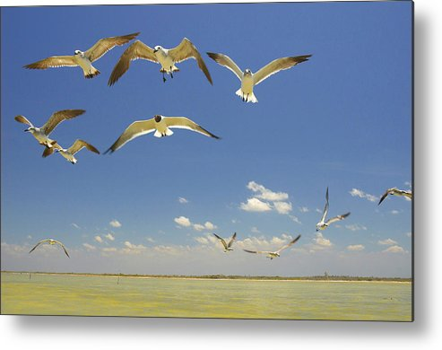 Seagull Metal Print featuring the photograph Seagulls by Elisa Locci