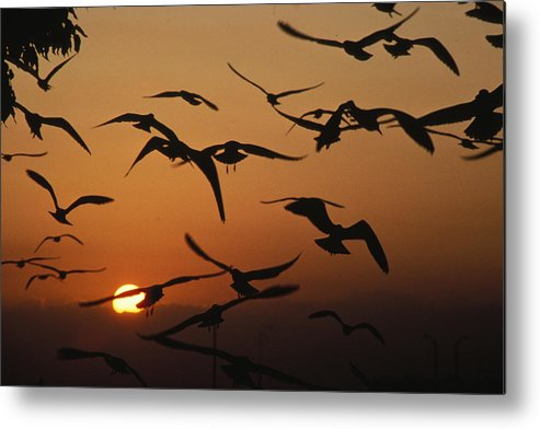Birds Metal Print featuring the photograph Seagulls In Sunset by Carl Purcell