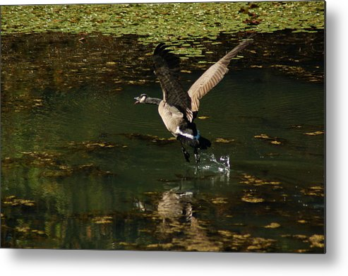 Goose Metal Print featuring the photograph See Ya by Scott Gould