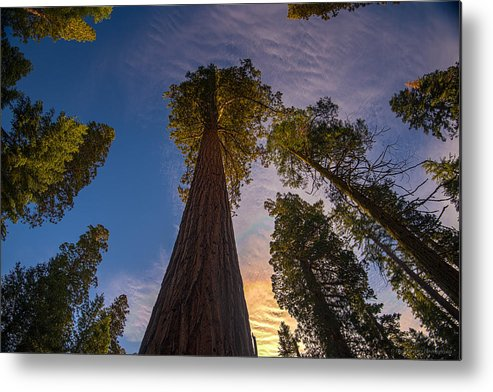 Giant Sequoia Tree Metal Print featuring the photograph Sequoia Sunrise by Phil Abrams