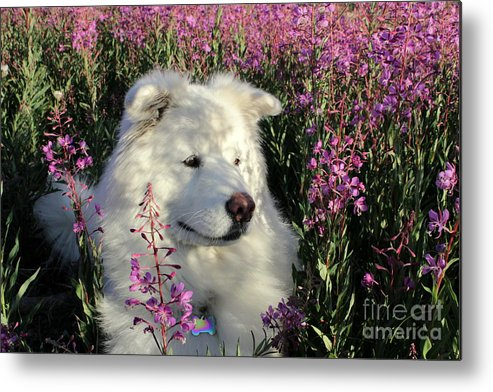 Samoyed Metal Print featuring the photograph Shadows by Fiona Kennard