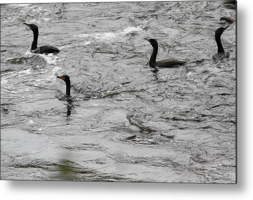 Shags Metal Print featuring the photograph Shags by Bonnie Brann