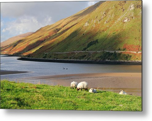 Sheep Metal Print featuring the photograph Sheep Grazing In Connemara Ireland by Pierre Leclerc Photography