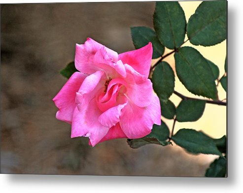 Flower Metal Print featuring the photograph Single Red Rose by Francesco Roncone