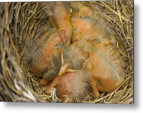 Birds Metal Print featuring the photograph Sleeping Robins by Jeff Swan