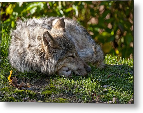 Michael Cummings Metal Print featuring the photograph Sleeping Timber Wolf by Michael Cummings