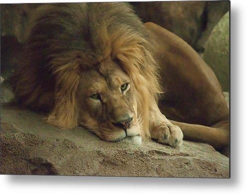 Lion Metal Print featuring the photograph Sleepy Lion by Matt Steffen