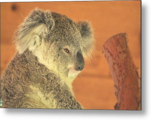 Koala Metal Print featuring the photograph Sleepy Time by Margaret Augustine