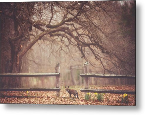 Fox Metal Print featuring the photograph Sly Guy by Carrie Ann Grippo-Pike