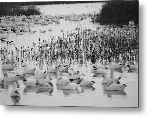 Black White Snow Geese Metal Print featuring the photograph Snow Geese by Lisa Billingsley