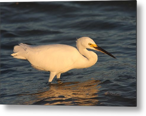 Egret Metal Print featuring the photograph Snowy Egret By Sunset by Christiane Schulze Art And Photography
