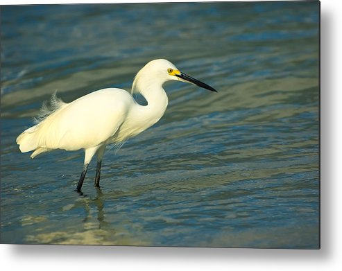 Animal Metal Print featuring the photograph Snowy Egret by Rich Leighton
