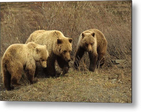 Nobody Metal Print featuring the photograph Sow Grizzly With Cubs by Michael S. Quinton