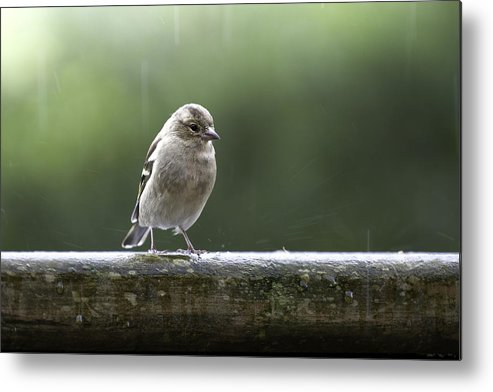 Sparrow Metal Print featuring the photograph Sparrow In The Rain by Enrico Crobu