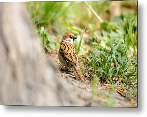Animal Metal Print featuring the photograph Sparrow On The Ground by Alain De Maximy