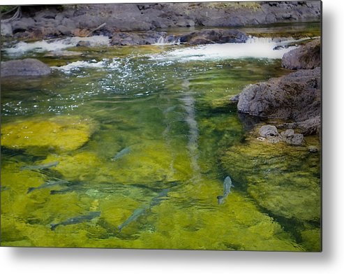 Salmon Metal Print featuring the photograph Spawning Salmon by Naman Imagery