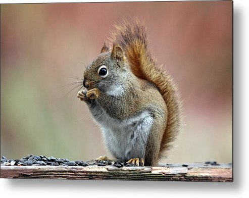 Squirrel Metal Print featuring the photograph Squirrel In Fall by Sue Feldberg