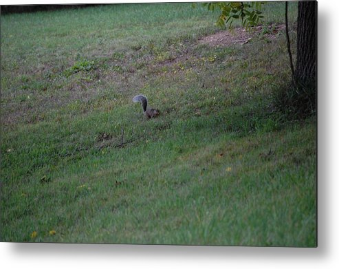 Willdlife Metal Print featuring the photograph Squirrel Looking For Walnuts by Richard Botts