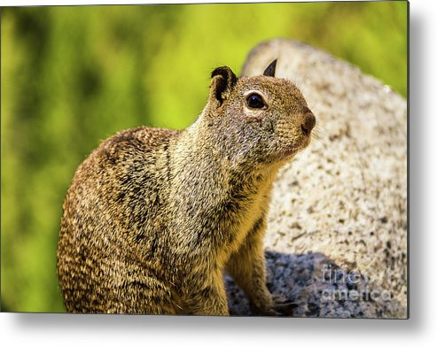 Nature Metal Print featuring the photograph Squirrel On The Rock by Mirko Chianucci