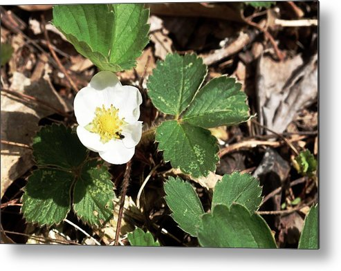Strawberry Metal Print featuring the photograph Strawberry Flower 2 by Galen Puronen