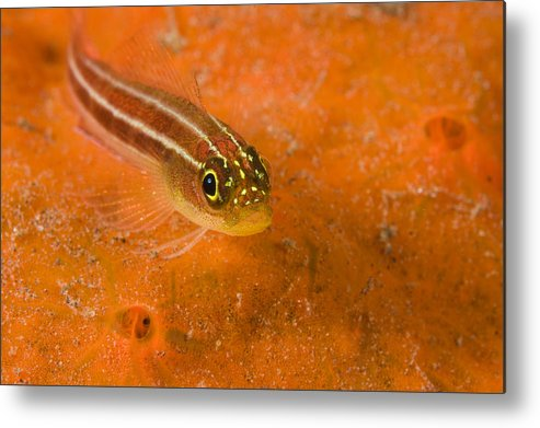 One Animal Metal Print featuring the photograph Striped Triplefin Helcogramma Striata by Tim Laman