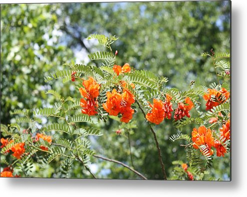 Flowers Metal Print featuring the photograph Study In Orange by Paula Coley