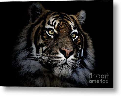 Sumatran Tiger Wildlife Endangered Metal Print featuring the photograph Sumatran Tiger by Sheila Smart Fine Art Photography