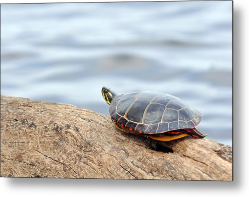 Turtle Metal Print featuring the photograph Sunbathing Turtle by Glenn Gordon