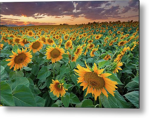 Horizontal Metal Print featuring the photograph Sunflower Field In Longmont, Colorado by Lightvision